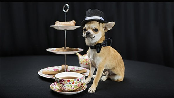 chihuahua with tea cup and cake stand