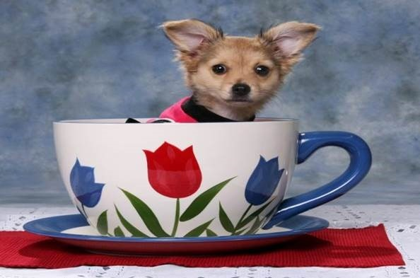 small dog in tea cup
