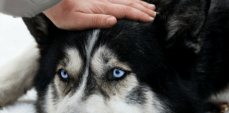 husky dog with blue eyes