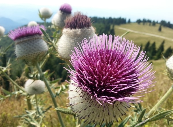 milk-thistle-to-help-with-being-tired