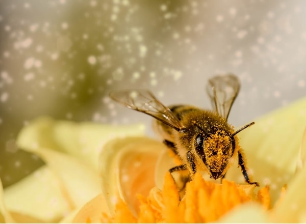 bee-covered-in-pollen