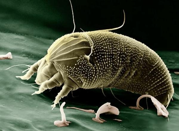 dust-mite