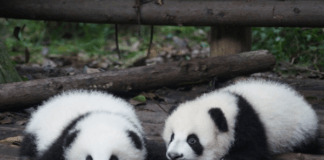 baby-pandas-lying-on-logs-waiting-for-parents-to-attend-to-their-needs-panda-parenting