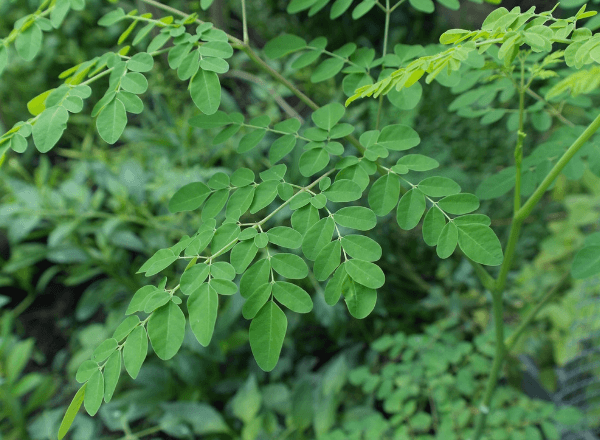 Close-up image of the Moringa plant leaves which is said to help with breast milk supply.