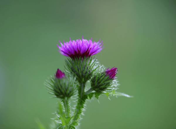 Close-up photo of Milk Thistle bud which can be used to boost breast milk supply.