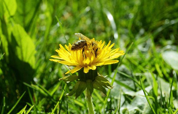 bee-in-pollen-filled-flower-seasonal-allergies