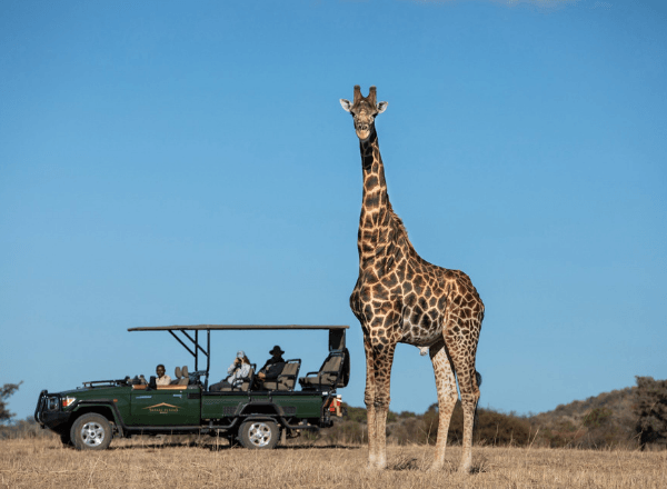 Giraffe siting on a safari game drive