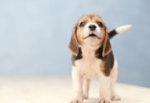 Cute Beagle puppy looking happy