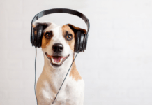 Dog listening to podcasts with headphones on