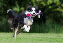 Border collie running in field with toy