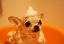 funny dog in the bath with shampoo on its head