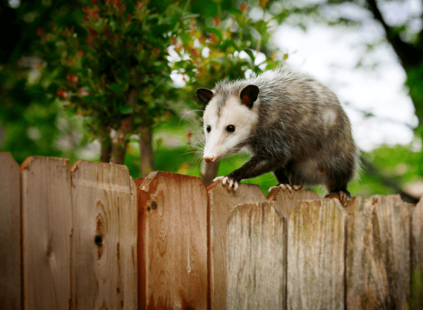 opposum on a fence
